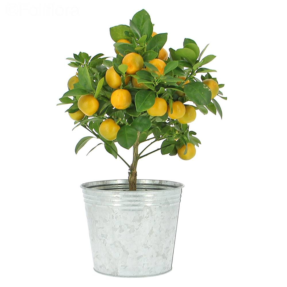Calamondin-Citrus Mini Mandalina