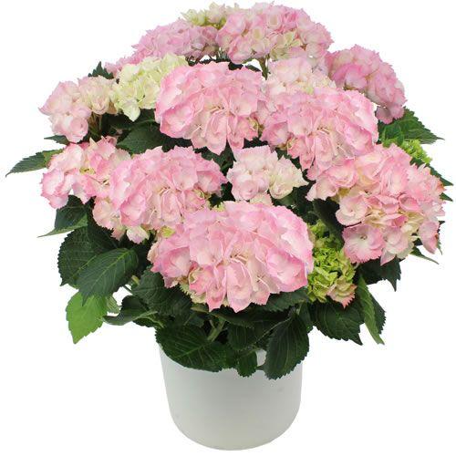 Ortanca saksı çiçeği