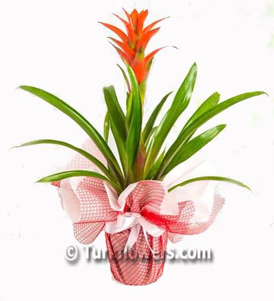 Guzmania  Saksı Çiçeği