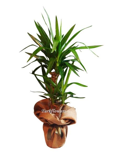 ikili Yuka Bitki Salon Büro Saksı Çiçeği ↕ 110 cm