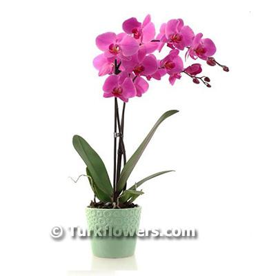 iki dallı Pembe renkli Saksı Orkide