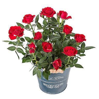 Saksıda Kırmızı Gül Bitki