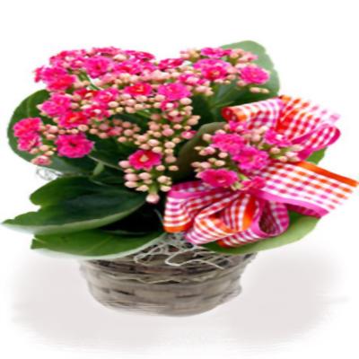 Kalanchoe saksı çiçeği