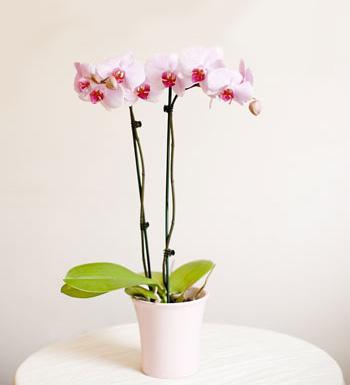 orkide saksı çiçeği