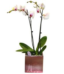 Pembe Renkli Saksi Orkide