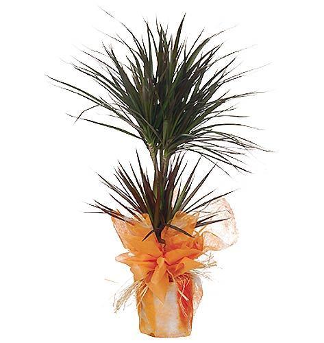 İkili Dracena - Marginata salon saksı çiçeği