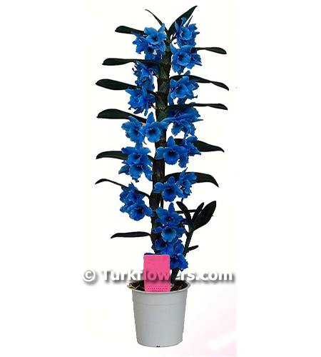 Mavi dendrobium orkide