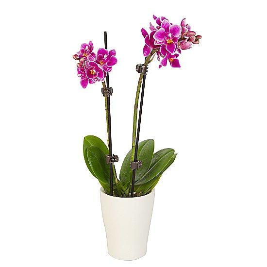 Dekoratif vazoda Mini pembe Orkide