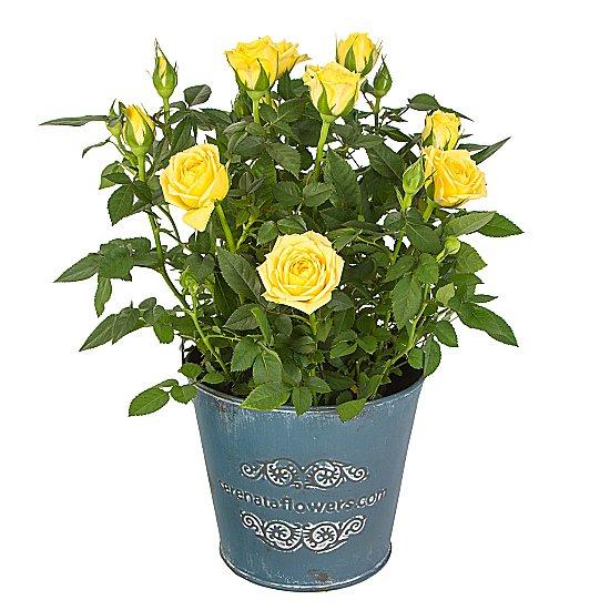 Dekoratif vazoda Mini Sarı saksı Gül