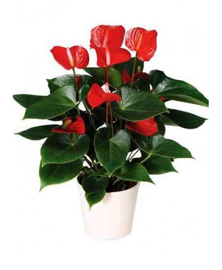 Büyük Boy Antoryum saksı çiçeği