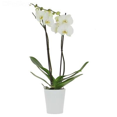 Beyaz Renkli Saksı Orkide