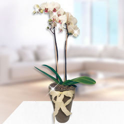 Aynı Gün Teslimat Çift Dallı Orkide