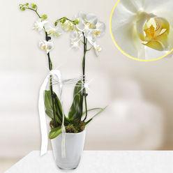 Saksı orkide beyaz