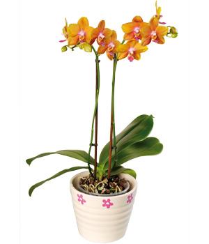 Sarı Renkli Saksı Orkide