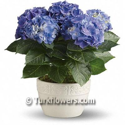 Ortanca - Bahce , Balkon saksı çiçeği h= 55 cm