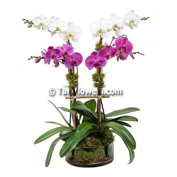 Pembe - Beyaz Orkideler