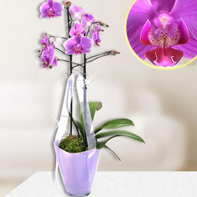 Pembe Renkli ikili Saksı Orkide