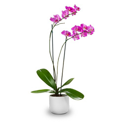 italya Pembe renkli Saksı Orkide