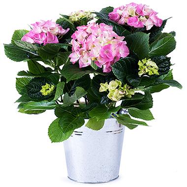 Pembe Renkli Ortanca saksı çiçeği