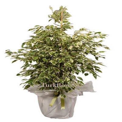 Yeşil Beyaz Yapraklı Benjamin saksı çiçeği ↕ 140 cm