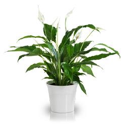 Spati saksı Çiçeği - Barış Çiçeği