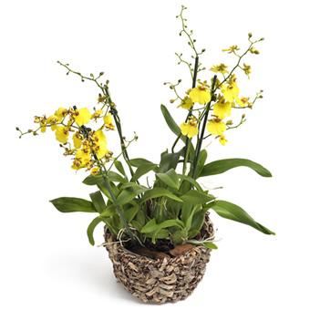 Sarı Saksı Orkide