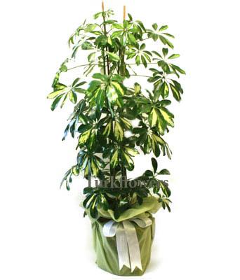 İkili Şeflera Bitki - Saksı çiçeği h= 70 cm
