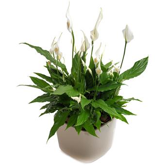 Spati Filyum Saksı Çiçeği