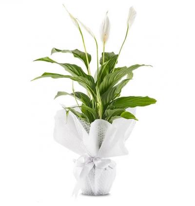 spati saksı çiçeği