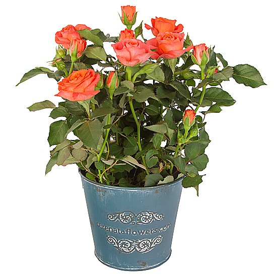 Dekoratif vazoda Mini Turuncu saksı Gül