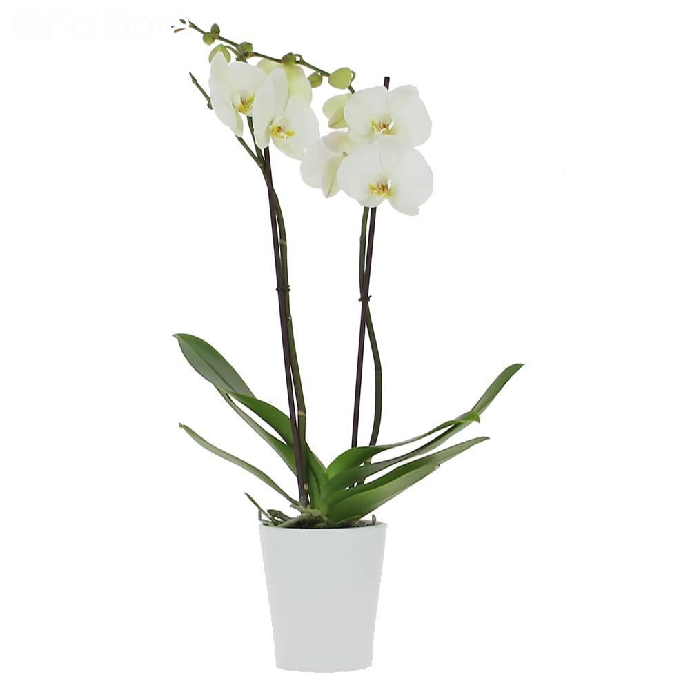 Çift Dal Beyaz Saksı Orkide