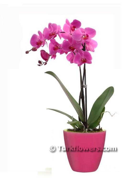 Çift Dallı Pembe Saksı Orkide