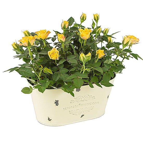 Dekoratif Vazo içerisinde mini Sarı saksı güller