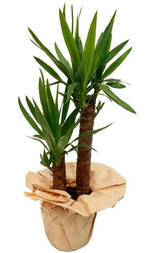 2 li yukka salon saksı bitkisi